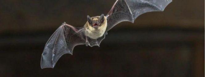 Encuentran murciélagos con rabia en Angostura: recomendaciones para la población